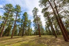 Bosque del árbol de pino en Grand Canyon Arizona Fotos de archivo