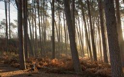 Bosque del árbol de pino, en la niebla de la madrugada Imágenes de archivo libres de regalías