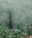 Bosque del árbol de pino en verano Imagen de archivo