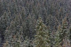 Bosque del árbol de pino del invierno de las montañas Imágenes de archivo libres de regalías
