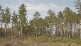 Bosque del árbol de pino por la mañana metrajes