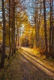 Bosque del árbol en hojas amarillo-naranja del otoño en la tierra Fotos de archivo