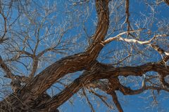 Bosque del апаш Неш-Мексико, сучковатые ветви хлопока против гениального голубого неба стоковые изображения rf