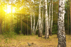 Bosque del abedul. Imagen de archivo libre de regalías