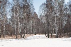 Bosque del abedul Imágenes de archivo libres de regalías