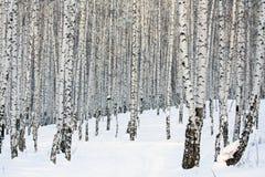 Bosque del abedul Imagen de archivo libre de regalías