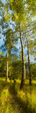 Bosque del abedul Fotografía de archivo libre de regalías