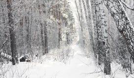 Bosque del abedul Imagen de archivo