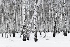 Bosque del abedul Fotos de archivo libres de regalías