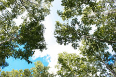 Bosque del abedul Fotos de archivo