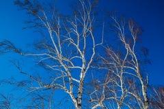 Bosque del abedul Imagenes de archivo