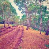Bosque del abedul Foto de archivo libre de regalías