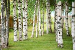 bosque del abedul adentro por la mañana Fondo de la naturaleza de la primavera para usted texto Fotografía de archivo libre de regalías