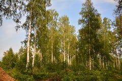 Bosque del abedul al borde del taiga de Siberia, Irkutsk, Rusia, verano 2017 Imagen de archivo libre de regalías