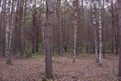 Bosque del abedul Bosque asoleado del resorte Foto de archivo libre de regalías