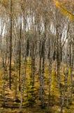 Bosque del abedul blanco en otoño profundo Foto de archivo libre de regalías