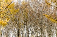 Bosque del abedul blanco en otoño profundo Imagen de archivo libre de regalías