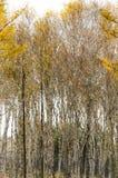 Bosque del abedul blanco en otoño profundo Fotografía de archivo