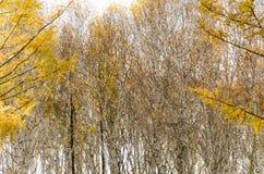 Bosque del abedul blanco en otoño profundo Fotos de archivo