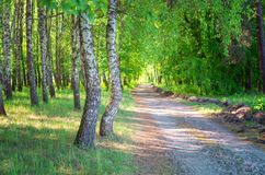 Bosque del abedul, camino forestal, verano Fotos de archivo libres de regalías