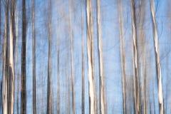 Bosque del abedul con el cielo azul Foto de archivo