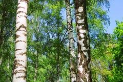 Bosque del abedul con follaje verde en la primavera Imagenes de archivo