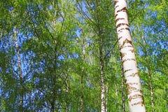 Bosque del abedul con follaje verde en la primavera Fotos de archivo