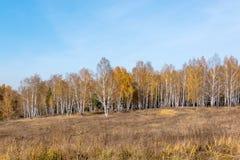 Bosque del abedul con las hojas amarillas Fotos de archivo libres de regalías