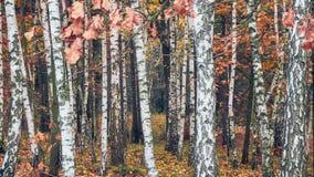 Bosque del abedul con las hojas amarillas Fotos de archivo