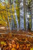Bosque del abedul con las hojas amarillas Bosque denso con las hojas amarillas Fotos de archivo libres de regalías