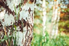 Bosque del abedul con las sombras largas Fotografía de archivo libre de regalías