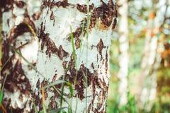Bosque del abedul con las sombras largas Fotos de archivo libres de regalías