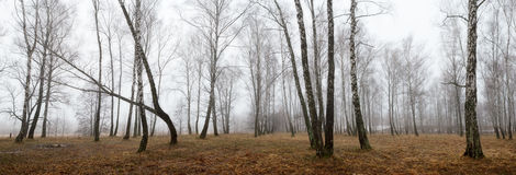 Bosque del abedul con nieve de fusión en primavera Imagen de archivo