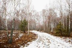 Bosque del abedul con nieve de fusión en primavera Fotografía de archivo