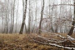 Bosque del abedul con nieve de fusión en primavera Foto de archivo
