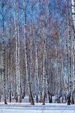 Bosque del abedul con nieve en el invierno Imagenes de archivo