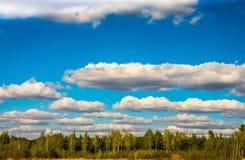 Bosque del abedul contra el cielo azul Imagen de archivo libre de regalías