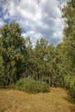 Bosque del abedul contra el cielo azul Foto de archivo