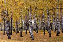 Bosque del abedul, día del otoño Imágenes de archivo libres de regalías