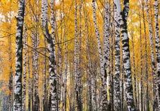 Bosque del abedul, día del otoño Fotografía de archivo