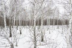 Bosque del abedul de blanco puro Imagenes de archivo