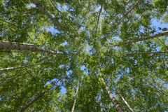 Bosque del abedul de Inje Fotografía de archivo