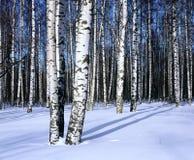 Bosque del abedul de la nieve del invierno, horizontal Fotografía de archivo