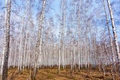 Bosque del abedul de la primavera Fotos de archivo
