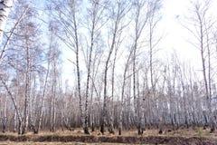 Bosque del abedul de la primavera Fotografía de archivo libre de regalías