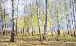 Bosque del abedul de la primavera Foto de archivo libre de regalías