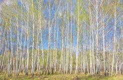 Bosque del abedul de la primavera Fotografía de archivo
