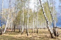 Bosque del abedul de la primavera Imagenes de archivo