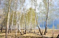 Bosque del abedul de la primavera Fotos de archivo libres de regalías