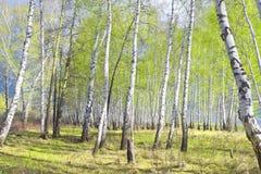Bosque del abedul de la primavera Imágenes de archivo libres de regalías